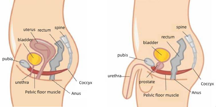 The Importance of Pelvic Floor Muscles